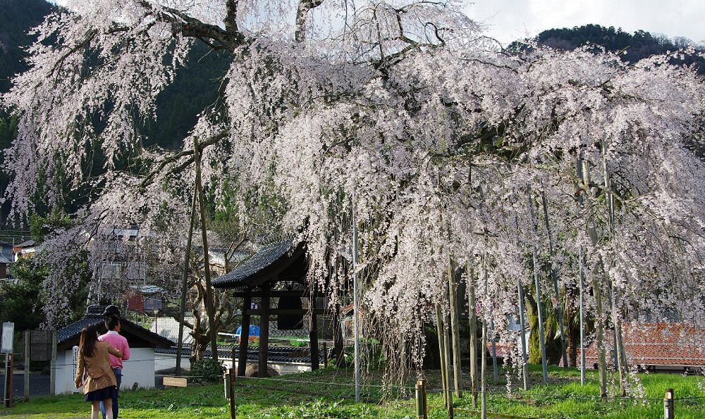 Taiun-ji Temple's<br />Weeping Cherry Blossoms