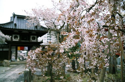 Shofuku-ji Temple's Cherry Blossoms